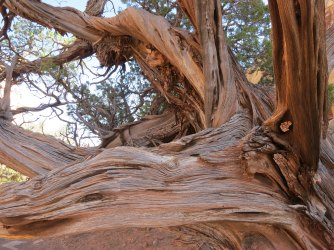 A very old Juniper